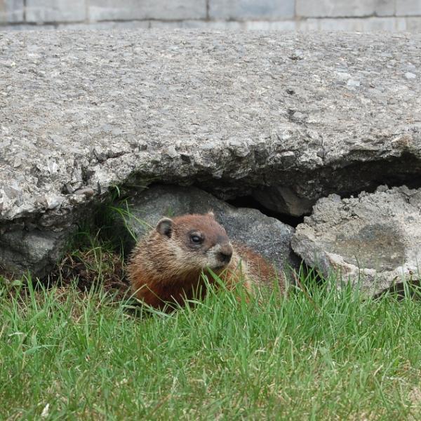 Et alors là, la marmotte...
