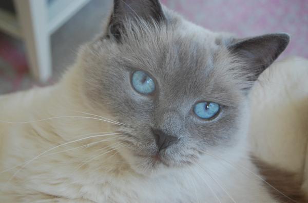 Bali blue eyes