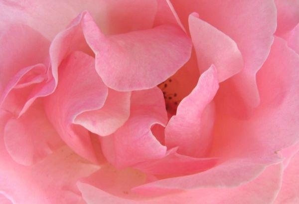 Rose de plaisir