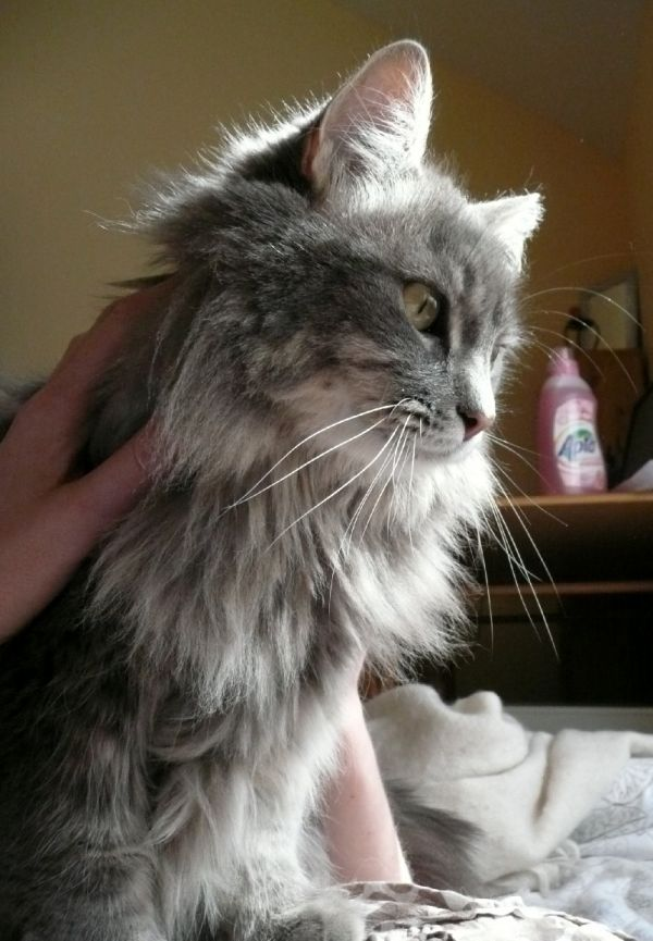 Dready cat