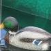 Pêche au canard